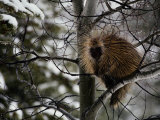 Porcupine Sits High on a Tree Branch in the Winter