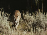 Mountain Lion Charges its Prey After Stalking