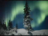 Snow Blanketed Evergreen Trees and the Aurora Borealis at Night