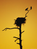 Pair of Ospreys Perched on a Limb above Their Nest at Twilight