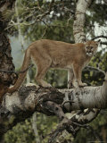 Mountain Lion Surveys its Territory from a Tree