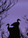 Pair of Wild Ducks in Silhouette  Costa Rica