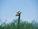 A Giraffe Stands Above the Surrounding Vegetation