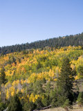 A Forest Changes Color in Autumn as the Aspen Trees Turn Golden