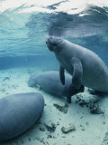 An Underwater Shot of Florida Manatees