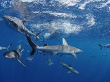 A School of Gray Reef Sharks Swim in Different Directions