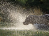 A Hippo Splashes into the Water