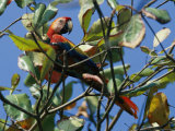 A Macaw Perches in a Tree