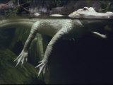 Alligator blanc - exposition du marais de Louisiane Papier Photo par Michael Nichols