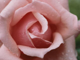 A Close View of the Top of a Pink Rose