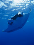 A Manta Ray Glides under the Surface of the Ocean
