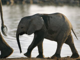 Baby Elephant Follows after its Mother