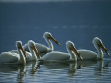 A Group of American White Pelicans Floats in the Water