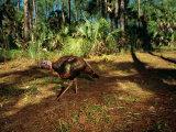A Wild Turkey at Florida Panther National Wildlife Refuge