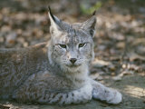 A Portrait of a Captive European Lynx
