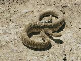A Diamondback Rattlesnake Curves its Way Across the Desert