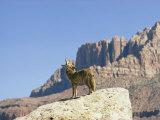 Barking Coyote in Utah