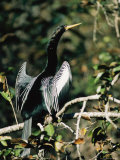 Portrait of an Anhinga Perched on a Branch