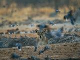 Lioness Disturbs a Flock of Pigeons
