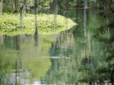 An Alligator Floats Just Above the Surface of the Silver River