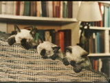 Three Siamese Kittens Take a Nap by Resting Their Heads on the Arm of a Padded Chair