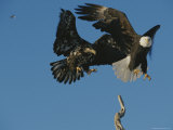Two Northern American Bald Eagles
