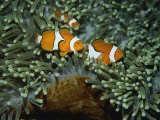 A Trio of False Clown Anemonefish in the Tentacles of Sea Anemones