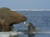 A Large Atlantic Walrus Comes Face to Face with a Surfacing Walrus