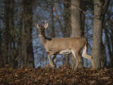 A Wild Deer Caught in Early Morning Light