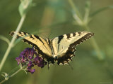 A Yellow Swallowtail Butterfly on a Flower