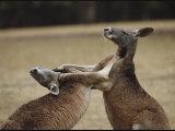 Male Red Kangaroos Sparring  Australia