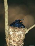 A Male Victorias Riflebird in Nest  Cape York Peninsula  Queensland