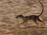 An Adult Meerkat Runs Through the Kalahari Desert