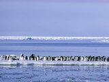 Adelie Penguins  Pygoscelis Adeliae  Cluster Together on an Ice Floe