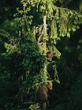Brown Bear Cubs in Tree  Bayerischer Wald National Park  Germany