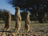 Three Meerkats with Paws Poised Neatly in Front of Their Stomachs