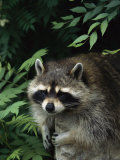 A Captive Raccoon Relaxes on a Rock Surrounded by Lush Foliage