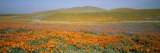 California Poppies Fill a Landscape with a Golden Glow