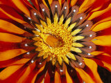 A South African Monkey Beetle Burrows into a Gazania Flower