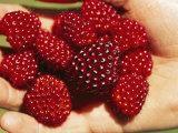 Handful of Salmonberries (Rubus Spectabilis)