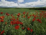Beautiful Red Poppies Line a Roadside Field Near Moscow  Idaho