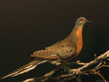 A Stuffed and Mounted Passenger Pigeon on Display at a Museum