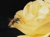 Honey Bee (Apis Mellifera) on Rose Blossom