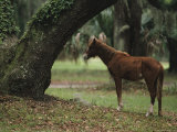 Feral Horse Munching Spanish Moss  Cumberland Island  Georgia
