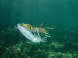 Caribbean Reef Squid Defends its Claim to a Nearby Female
