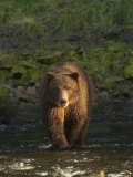 An Alaskan Brown Bear Crosses a Stream in Tongass National Forest