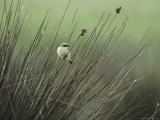 A Red-Backed Shrike Perches on Field Grass
