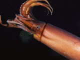 Giant Or Humboldt Squid with Tentacles Splayed as It Swims