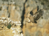 Griffon Vulture Coming in for a Landing on a Rocky Outcrop