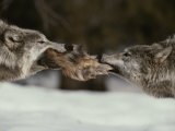 Two Gray Wolves Tussle for a Scrap of Elk Hide
